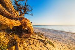De boom van de pijnboom op het strand stock afbeelding