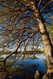 De boom van de pijnboom over een meer Stock Foto