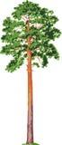 De boom van de pijnboom. Vector Royalty-vrije Stock Afbeelding