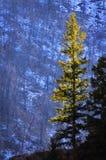 De boom van de pijnboom in zonlicht Royalty-vrije Stock Afbeeldingen