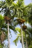 De boom van de pinangnoot Stock Fotografie