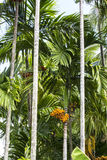 De boom van de pinangnoot royalty-vrije stock foto's
