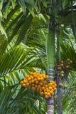 De boom van de pinangnoot Royalty-vrije Stock Foto