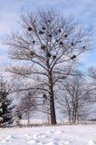De boom van de populier in de winter Stock Foto's