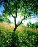 De boom van de pruim Royalty-vrije Stock Afbeeldingen