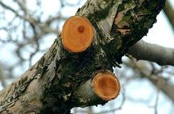 De boom van de Prunnedappel stock afbeeldingen
