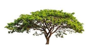 De boom van de regen (saman Samanea) Stock Afbeeldingen