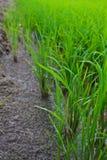 De Boom van de rijst Royalty-vrije Stock Foto