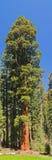 De Boom van de sequoia Royalty-vrije Stock Foto's