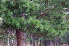 De boom van de Siberische ceder Royalty-vrije Stock Afbeelding