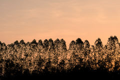 De Boom van de silhoueteucalyptus op oranje hemel in ochtendtijd Stock Foto's