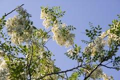 De boom van de sprinkhaan Royalty-vrije Stock Afbeeldingen