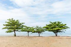 De boom van de strandamandel Stock Foto