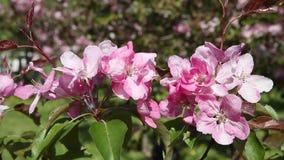 De boom van de takappel met roze bloemen die in de wind slingeren stock videobeelden