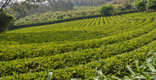 De boom van de thee royalty-vrije stock foto