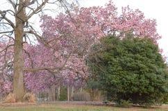 De boom van de tulpenmagnolia in bloei Stock Afbeeldingen