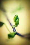 De boom van de Tuplippopulier Royalty-vrije Stock Afbeeldingen