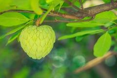 De boom van de vlaappel  Royalty-vrije Stock Foto's