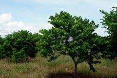 De boom van de vlaappel in landbouwbedrijf Stock Afbeelding