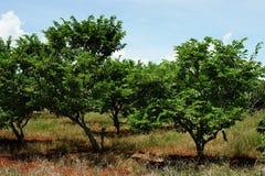 De boom van de vlaappel in landbouwbedrijf Stock Foto's