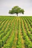 De boom van de wijngaard, Sancerre, Frankrijk Stock Afbeeldingen