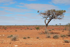 De Boom van de woestijn Stock Foto's