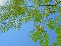 De boom van de zijde Royalty-vrije Stock Foto