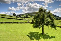 De boom van de zomer in tuin Stock Fotografie