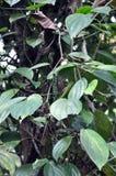 De boom van de zwarte peper stock foto