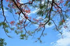 De boom van Delonixregia met wolken en hemel Royalty-vrije Stock Foto