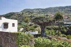 De boom van Dracaenadraco, plaatselijk als Drago Millenario wordt gekend, populaire aantrekkelijkheid in Icod de los Vinos dat royalty-vrije stock foto