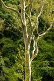 De Boom van Eacalyptus Stock Afbeeldingen