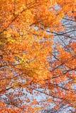 De boom van de esdoorn Stock Foto's