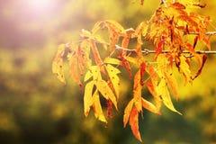 De boom van de esdoorn in de herfst royalty-vrije stock afbeelding