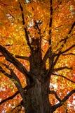 De boom van de esdoorn in de herfst stock foto's