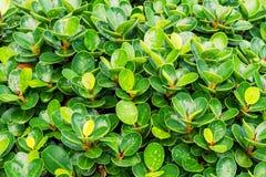 De boom van ficusbenjamina Royalty-vrije Stock Fotografie