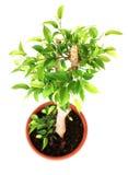 De boom van ficussen Stock Fotografie