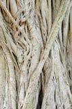 De boom van ficussen Royalty-vrije Stock Foto's