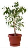 De boom van ficussen in bloempot Royalty-vrije Stock Afbeelding
