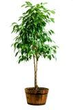 De boom van ficussen in pot Stock Afbeelding