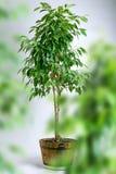 De boom van ficussen in pot stock foto's