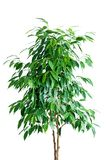 De boom van ficussen in pot stock afbeeldingen