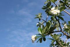 De boom van Frangipani Stock Afbeeldingen