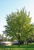 De boom van Gingkgo stock foto