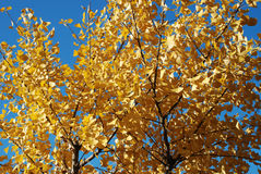 De boom van Gingko stock foto