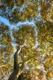 De boom van de de herfstsycomoor stock afbeelding