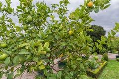 De boom van het citroenfruit Stock Afbeelding