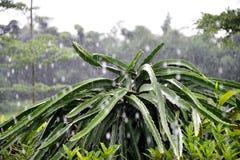 De boom van het draakfruit in de regen Stock Fotografie