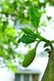 De boom van het fruit Royalty-vrije Stock Fotografie