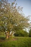 De boom van het fruit met bloesem stock afbeelding